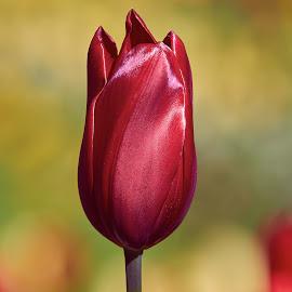 0 Tulip 99904~ by Raphael RaCcoon - Flowers Single Flower