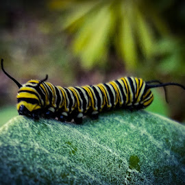 Monarch Caterpillar by Anne LiConti - Instagram & Mobile Android ( #mobilephotography, #nature, #mobilephoto, #instagram, #animal, #gardensofpixoto, #green, #phonephotography, #monarchcaterpillar, #garden, #macrophotograohy, #phonephoto, #mobile, #butterflygarden )