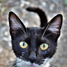 by Snezana Zivkovic - Animals - Cats Portraits