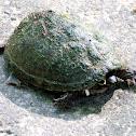 Eastern mud turtle