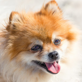 Pomeranian by Dave Lipchen - Animals - Dogs Portraits ( pomeranian )