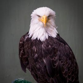 Who'd Shoot This Bird in the Eye? by Tom Reiman - Animals Birds ( eagle, alaska, ketchikan, one eye, bald eagle,  )