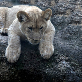 lion cub by Andy Antipin - Animals Lions, Tigers & Big Cats ( cats, animals, zoo, cubs, lions )