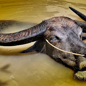 'Wallow' by Ibrahim Samsudin - Animals Other