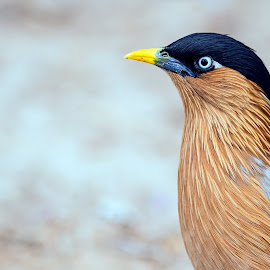 Brahminy starling by Abdus Alim - Animals Birds