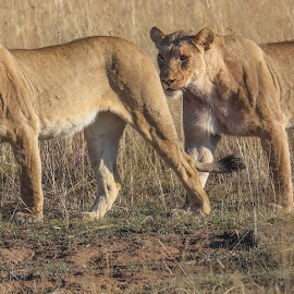 Lions by Dirk Luus - Animals Lions, Tigers & Big Cats ( predator, animals, nature, wildlife, lions )