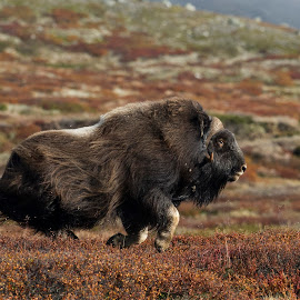 Musk-ox by Dennis Hallberg - Animals Other Mammals ( musk-ox )