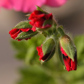 by Rajesh Dhungana - Flowers Flower Buds (  )