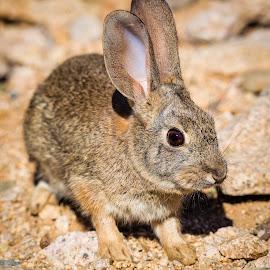 Rabbit by Dave Lipchen - Animals Other Mammals ( rabbit )