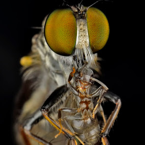 by Donald Jusa - Animals Insects & Spiders ( macro, wildlife )