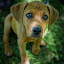 Hound Puppy by Nancy Merolle - Animals - Dogs Puppies ( adorable dogs, sweet, hound, waiting, puppy, dog, cute, young dog, tan puppy, animal, Dogs, Cats, Pets, Rabbits, Animals, pet, livestock, cows,  )