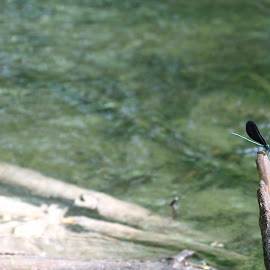 Lone Dragonfly by Bill Givens - Novices Only Wildlife ( wings, insect, animal, amateur, water, wildlife )