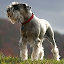 Download Miniature schnauzer Wallpapers APK