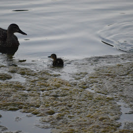 Mother & babies by Kevin Walton - Novices Only Wildlife ( babies, feeding, duck, algae, pond )