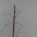 Grass - like mantis