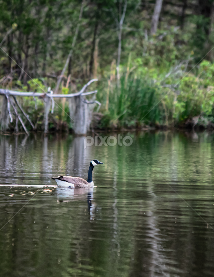 Canada goose swimming across a pond by Jackie Nix - Animals Other ( pond, forest, canada goose, beauty, reflections, fauna, lone, vertical, trees, peaceful, ripples, alone, reeds, bird, tones, quiet, lines, lonely, deadfall, wildlife, waves, earth tones, green, nature, one, cool, shore, water, environment, background, animal, tranquility, aquatic, diagonal, lake, swim )
