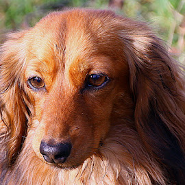 Eva by Chrissie Barrow - Animals - Dogs Portraits ( red, female, pet, long haired, dachshund (miniature long haired), ears, fur, dog, nose, portrait, tan, eyes )