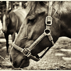 Watching by Michael Mounts - Animals Horses