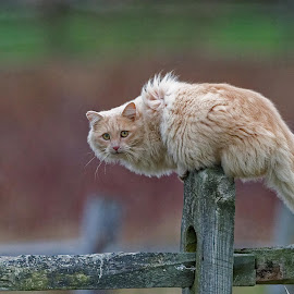 Fuzzy on a fence by Zaphir Shamma - Animals - Cats Portraits