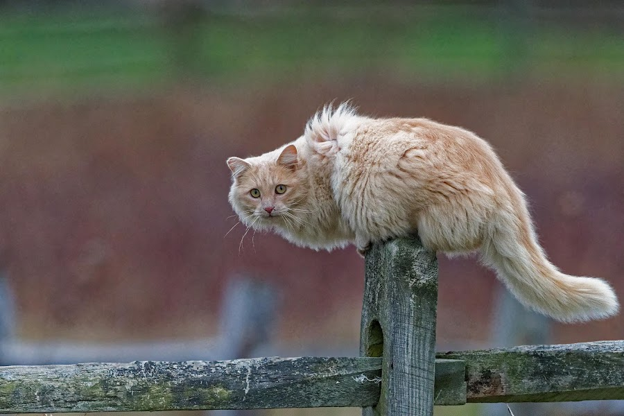 Fuzzy on a fence by Zaphir Shamma - Animals - Cats Portraits (  )