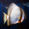 Golden Spadefish
