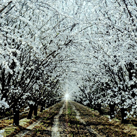 Almond Blossoms by Brian Blood - Landscapes Forests ( almond, i-5, sunrise, southrn california, spring, blossoms )