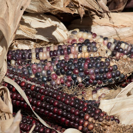 Harvest corn by Jay Fickess - Food & Drink Fruits & Vegetables ( purple, food, harvest, ears of corn, corn )