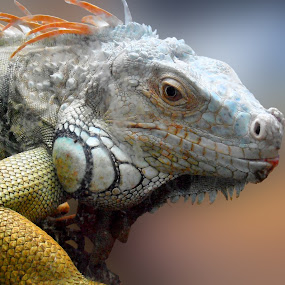 Iguana by Snezana Petrovic - Animals Other ( of the skin, patterns, and colors, iguana, with beautiful )