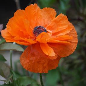 by Kathy Kehl - Flowers Single Flower ( orange, blooming, blooms, poppy flower, poppy, bloom, buds, blossoms, blossom, poppies, flowers, bud, flower )