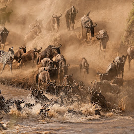 The Great Migration by Maria French - Animals Other ( masai mara, wildebeast, zebra )