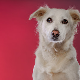 lucy in the pink by Phil Anderson - Animals - Dogs Portraits ( girl, fujifilm, gfx, pink, cute, profoto )
