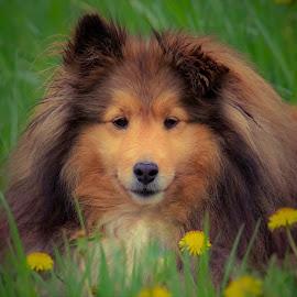A Warm smile by Sue Delia - Animals - Dogs Portraits ( face, shetland sheepdog, dog, smile,  )