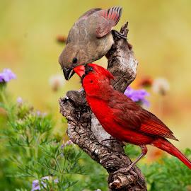 by Sandy Hurwitz - Animals Birds ( june, 2015, feeding, fcb, cardinals )