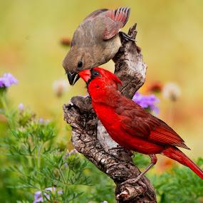 by Sandy Hurwitz - Animals Birds ( june, 2015, feeding, fcb, cardinals,  )
