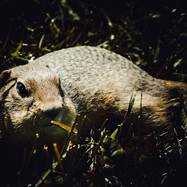 Like A Snake In The Grass by Julie Wooden - Animals Other ( prairie dog, nature, billings, montana, outdoors, fine art, wildlife, scenery, spring, mammal, animal )