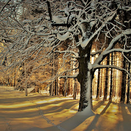 Sunny morning by Jarka Hk - Landscapes Sunsets & Sunrises ( winter, tree, snow, forest, sunrise, sun )