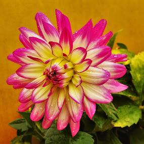 In Bloom by Patricia Phillips - Flowers Single Flower ( flowers dahlias )