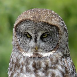 Great Gray Owl by Nick Swan - Animals Birds ( bc, nature, owl, great gray owl, wildlife )
