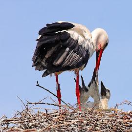 Trois petits à nourrir by Gérard CHATENET - Animals Birds (  )