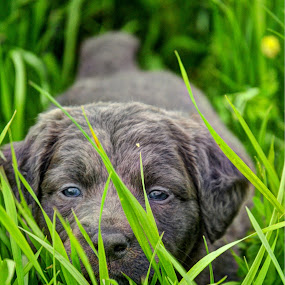 Peek A Boo by Kristen O'Brian - Animals - Dogs Portraits ( grass, green, grey, puppy, dog, gray )