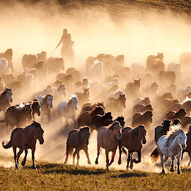 Mongolia Horse Herder by Paulus Widjanarko - Animals Horses ( #innermongolia #horses #goldenhours #china #horseherder )