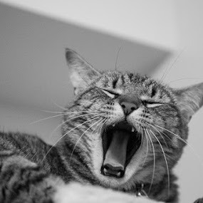 Yawn Cooper Yawn by Aaron Krosner - Animals - Cats Portraits ( cat tower, cat, b&w, black and white, fine art, yawn )