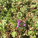 Common Henbit