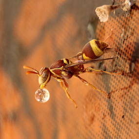 Paper wasp housekeeping... by BhanuKiran BK - Animals Insects & Spiders ( water, life, wasp, droplet, housekeeping, drop, paper, nest, bug, insect, ropalida,  )