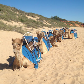 The Camel Train at Broome by Dawn Simpson - Animals Other Mammals ( camel, broome, sand dunes, summer, camel ride, cable beach )