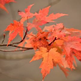 Maple by Jaliya Rasaputra - Nature Up Close Leaves & Grasses