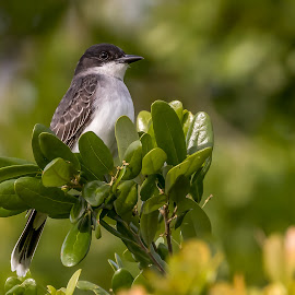 Eastern Kingbird by Shutter Bay Photography - Animals Birds ( nature, bird photography, bird, eastern kingbird, kingbird, portrait, birding )