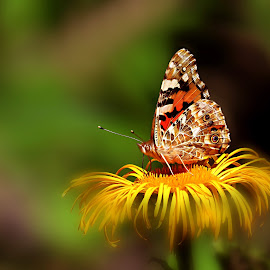 On the flower by Janeta Sandutu - Animals Insects & Spiders ( butterfly, nature, summer, yellow, flower, colours )