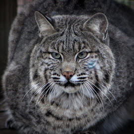 by Steven Maerz - Animals - Cats Portraits ( #bobcat #kitty #cat #zoo )