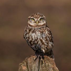 Little Owl by Yordan Mihov - Animals Birds ( mouse, owl, bird, pray, little )